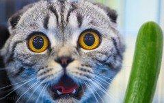 Gatos y pepinos: El gato vs. El pepino gatos pepinos