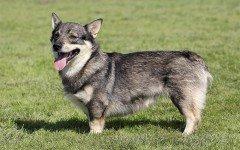 Razze Cani: Swedish Vallhund carattere e le origini