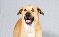 Dog breeds: the Chinook dog temperament and personality