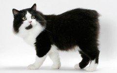Cat breeds: Cymric cat or Manx Longhair cat