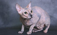 Cat breeds: The Donskoy cat characteristics and personality
