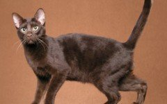 Cat breeds: The Havana Brown cat characteristics and personality