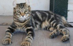 Cat breeds: Highlander Cat characteristics and personality