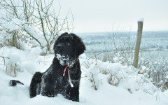 Dog breeds: The Newfoundland Dog temperament