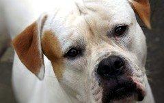 Razze Cani: il Bulldog Americano carattere e prezzo