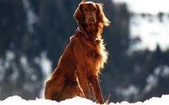 Malattie del cane Setter: quali sono le più comuni