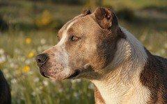 Alimentazione del cane Pitbull: la dieta ideale