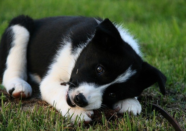 Dog breeds: Karelian Bear Dog temperament and personality