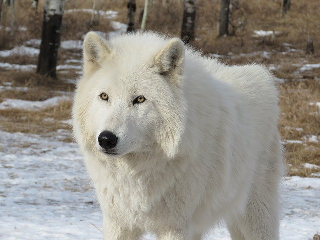 Dog Breed Looks Like Arctic Fox