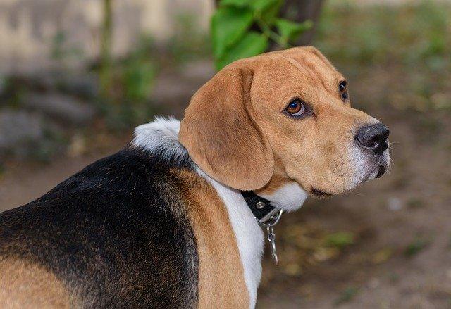 Malattie del cane: Lupus eritematoso sistemico nel cane
