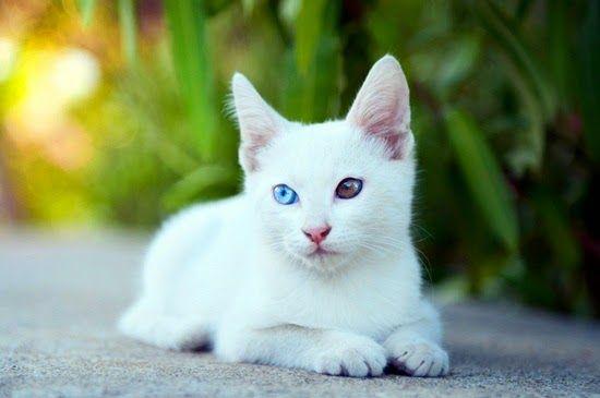 Razas Felinas: gato Khao Manee carácter y características