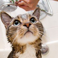 El gato al agua indicaciones para ba ar un gato dogalize - Banar gatos ...