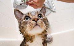 El Gato al Agua: indicaciones para bañar un gato