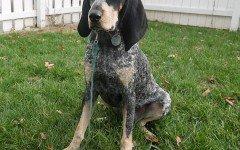 Dog breeds: Bluetick Coonhound Dog temperament, personality