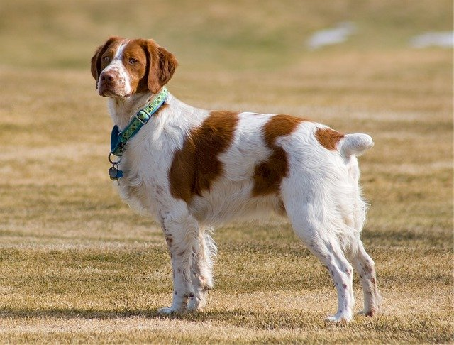 Dog breeds: The Brittany Dog temperament and personality