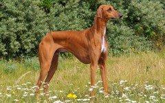 Razze Cani: il cane Azawakh, carattere e prezzo