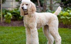 Alimentazione del cane barbone: cosa dargli da mangiare