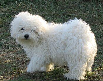 Malattie del cane Bolognese: le più comuni