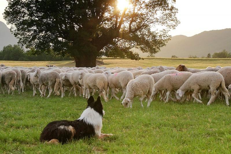 Las cinco razas de perros ovejeros más destacadas perro ovejero