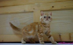 Cat breeds: the Exotic Shorthair cat characteristics & personality
