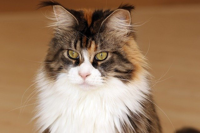 Cat breeds: Maine Coon Cat characteristics and personality