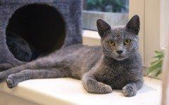 Razas Felinas: Gato Azul Ruso caracter y caracteristicas gato ruso azul