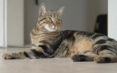 Cat breeds: European Shorthair cat characteristics & personality