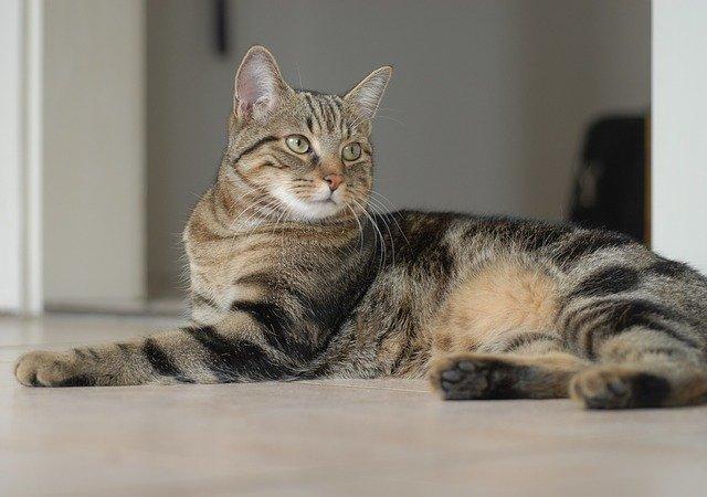 Cat breeds: European Shorthair cat characteristics & personality