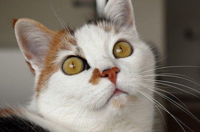 Occhio del gatto: il campo visivo e tutte le caratteristiche