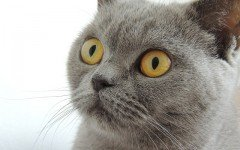 Cat breeds: The British Shorthair cat, Characteristics