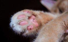 Patas de gato: como cuidar las patas de tu gato pies de gato