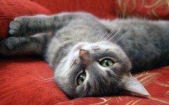Granuloma eosinofilo nel gatto, cause e cure