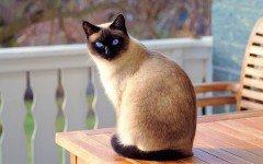 Razas Felinas: Gato Siames caracter y características gatos siameses