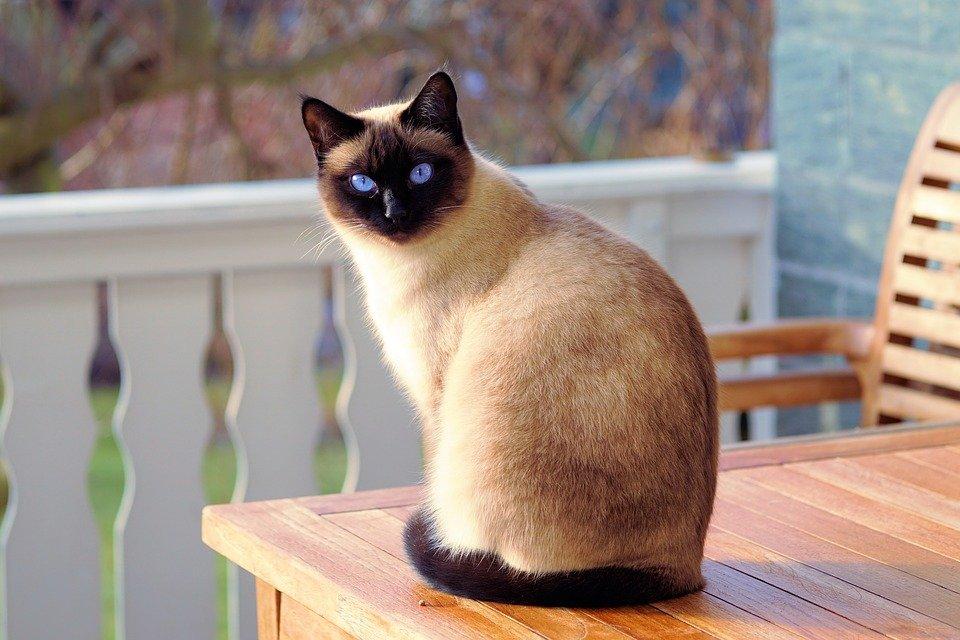 Resultado de imagen para gato siames