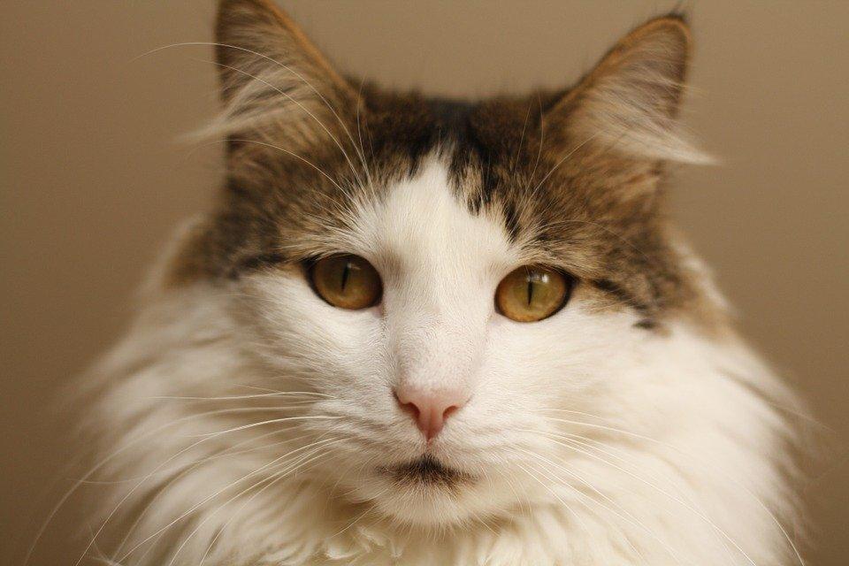 ¿ Porque ronronean los gatos? Te lo explicamos!