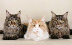 Las razas de gatos gigantes: ¿cuáles son las razas famosas? gato gigante