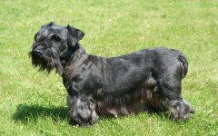 Dog breeds: Cesky Terrier dog temperament and personality
