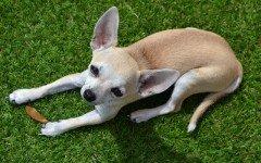 Alimentazione del cane chihuahua i consigli per una buona dieta