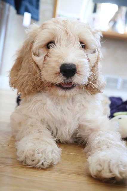 Dog breeds: the Cockapoo dog temperament and personality