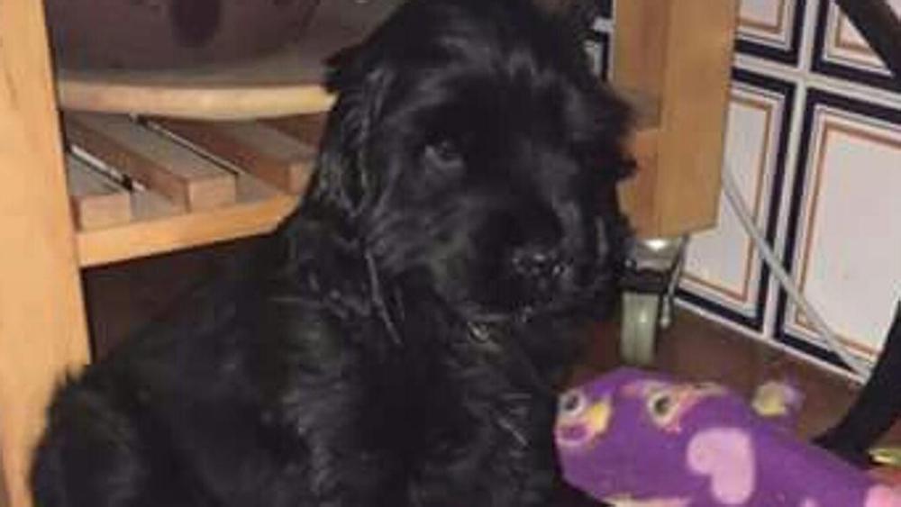 Cane cocker salvato grazie alla solidarietà del web