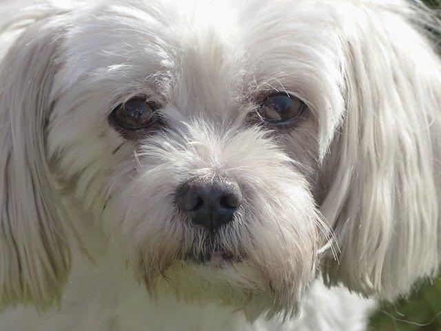 Dog breeds: Coton de Tulear dog temperament and personality