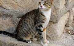 Cat breeds: The Cyprus cat characteristics and personality