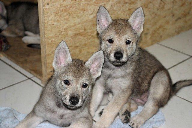 Giochi per cane lupo cecoslovacco: i più adatti