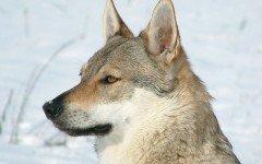 L' educazione del cane lupo cecoslovacco inizia intorno ai due o tre mesi di vita, questa è molto impegnativa dato il carattere indipendente del cane.