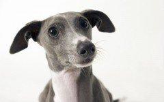 Razas de Perros: perro Galgo Italiano caracteristicas y cuidados