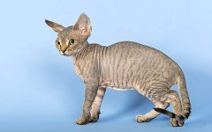 Cat breeds: The Devon Rex cat characteristics and personality
