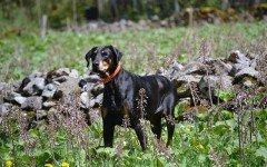 Alimentazione del cane da guardia: dieta per razze forti