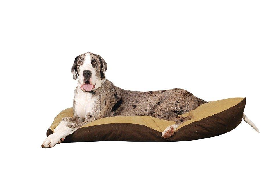 Razas de Perros: perro Dogo Aleman caracteristicas y cuidados