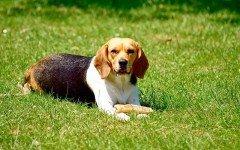 Alimentazione del cane beagle da cucciolo fino ad adulto