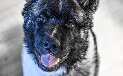 Razze cani: Akita Americano, aspetto e carattere